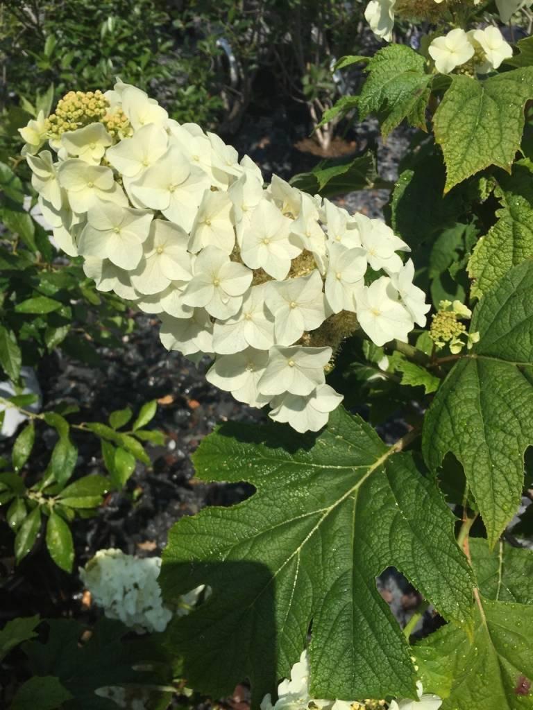 Hydrangea querc. Alice Hydrangea - Oakleaf, Alice, #3