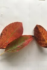 Amelanchier arborea spp Laevis, Serviceberry Alleghany