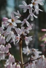 Abeliophyllum dis. Roseum Forsythia, Roseum, #3