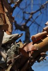 Acer griseum Maple - Paperbark, #10