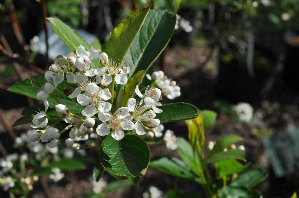 Aronia arb. Brilliantissima  Chokeberry, #3