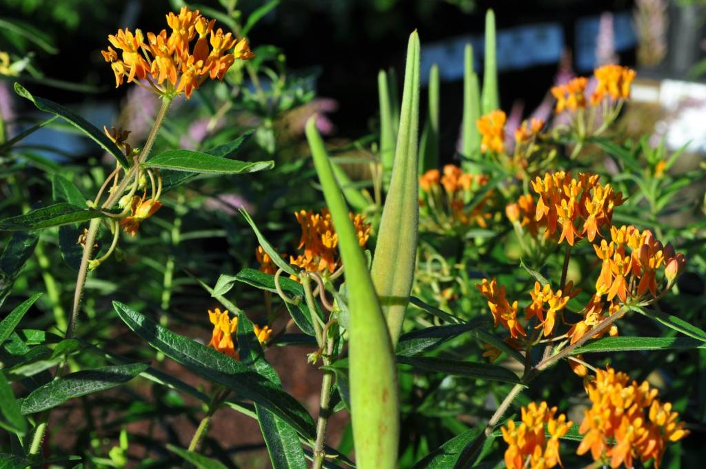 Asclepias tube. Butterfly Weed, #1