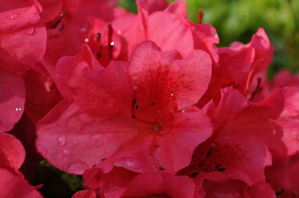 Azalea Girard's Crimson Azalea, Girard's Crimson, #2