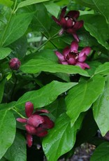 Calycanthus Aphrodite Sweetshrub, Aphrodite, #3
