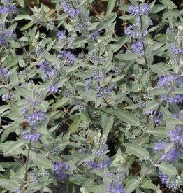 Caryopteris x Lissilv Bluebeard, Sterling Silver, #3