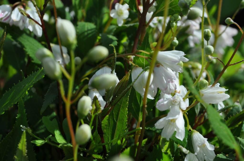 Deutzia gracilis Nikko Deutzia, Nikko, #3