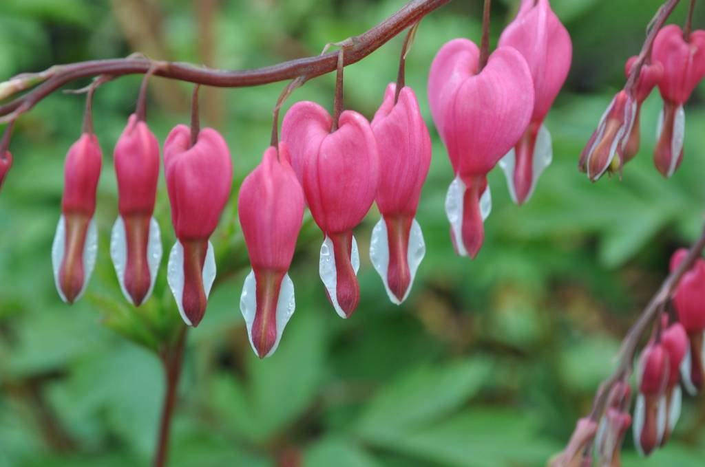 Dicentra spectabilis Bleeding Heart, Common, #1