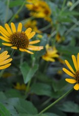 Heliopsis helianthoides False Sunflower, #1