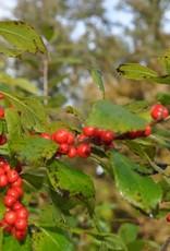 Ilex vert. Spriber Holly - Winterberry, Berry Nice, #3