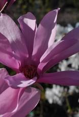 Magnolia kobus Ann Magnolia - Kobus, Ann, #7
