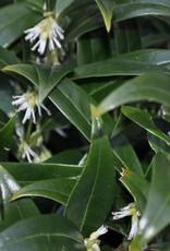Sarcococca hookeriana humilis Sweetbox, Dwarf, #3