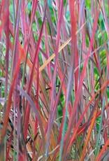 Schizachyrium Standing Ovation Grass - Ornamental Little Bluestem, Standing Ovation, #1