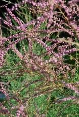 Tamarix Pink Cascade Tamarix, Pink Cascade, #3