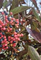 Viburnum nudum Bulk Viburnum - Witherod, Brandywine, #3