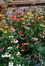 Echinacea pur. Cheyenne Spirit, Coneflower #1