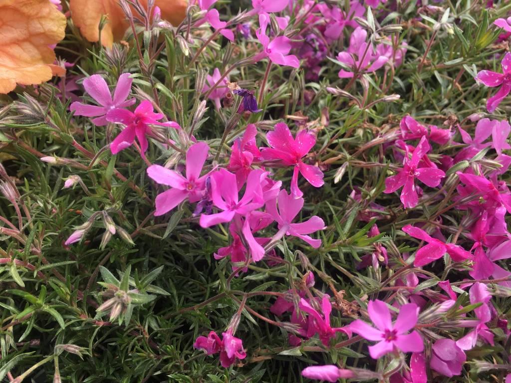 Phlox sub. Emerald Pink Phlox - Creeping, Emerald Pink, #1