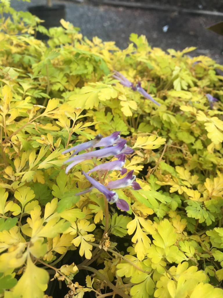CORYDALIS BERRY EXCITING #1