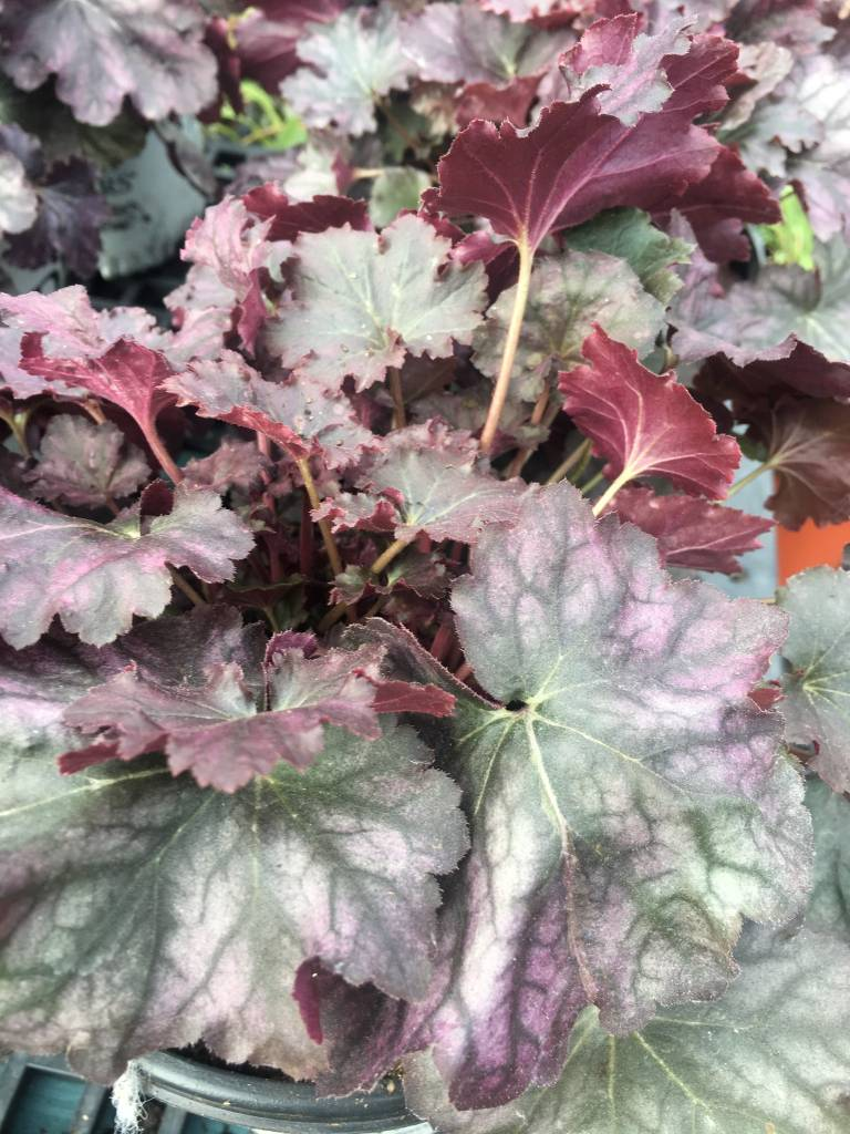 HEUCHERA Blackberry Ice #1