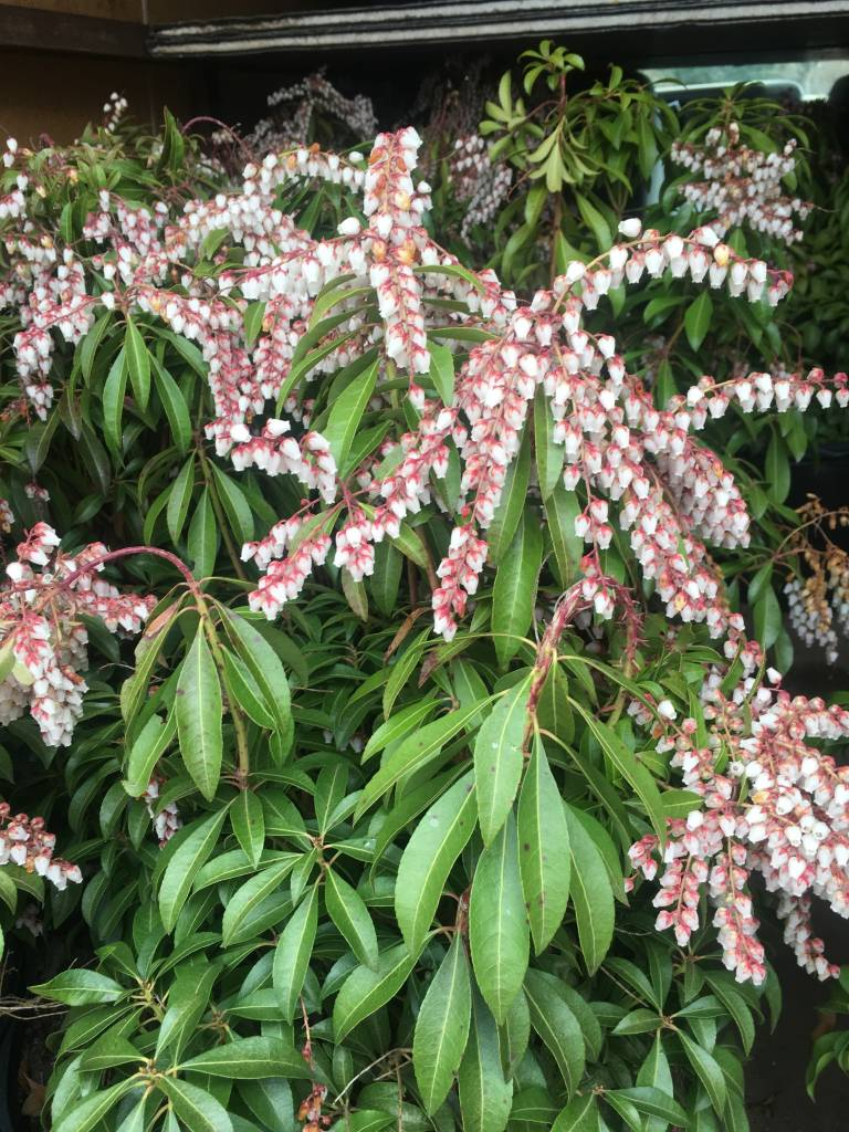 Pieris japonica Valley Rose, Lily of the Valley Bush #7