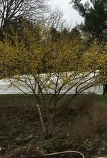 Cornus mas Cornelian Cherry, 8-10'