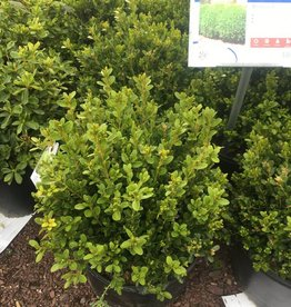 Buxus micro. True Spreader Boxwood, True Spreader, #5