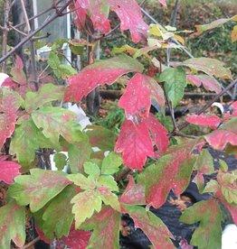 Acer griseum Maple - Paperbark, #15