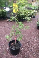 Cornus florida Cherokee Chief Dogwood - Flowering, Cherokee Chief, #7