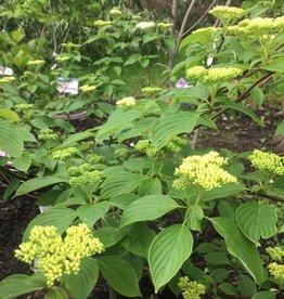 Cornus alternifolia Dogwood - Pagoda, #7