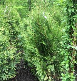 Thuja occ. Nigra Arborvitae - American, Dark Green, 4-5' b&b