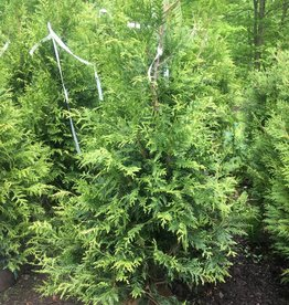 Thuja x Green Giant Arborvitae, Green Giant, 5-6
