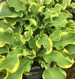 HOSTA WHEEE! #1 PW