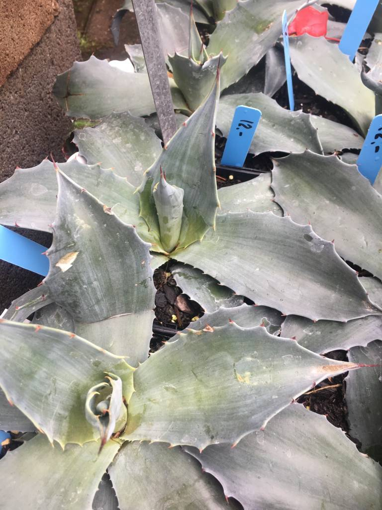 Agave, Misty Blue 2qt