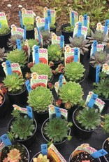 Chick Charms Sedum