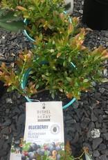 Blueberry, Blueberry Glaze #1 BB