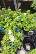 Geranium lemon, Scented Geranium