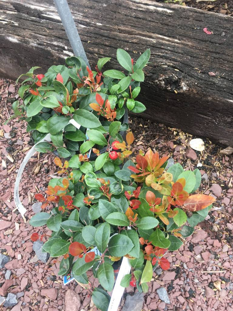 Gaultheria procumbens, Wintergreen #1 Container