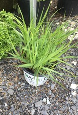 Panicum virgatum Cheyenne Sky Grass - Ornamental Switch, #1