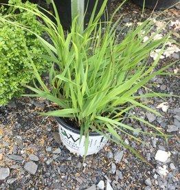 Panicum virgatum Cheyenne Sky Grass - Ornamental Switch, #1