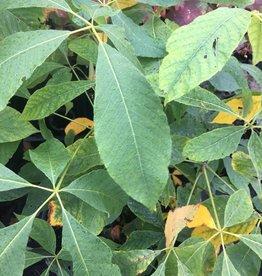 Aesculus parviflora Buckeye - Bottlebrush, #3