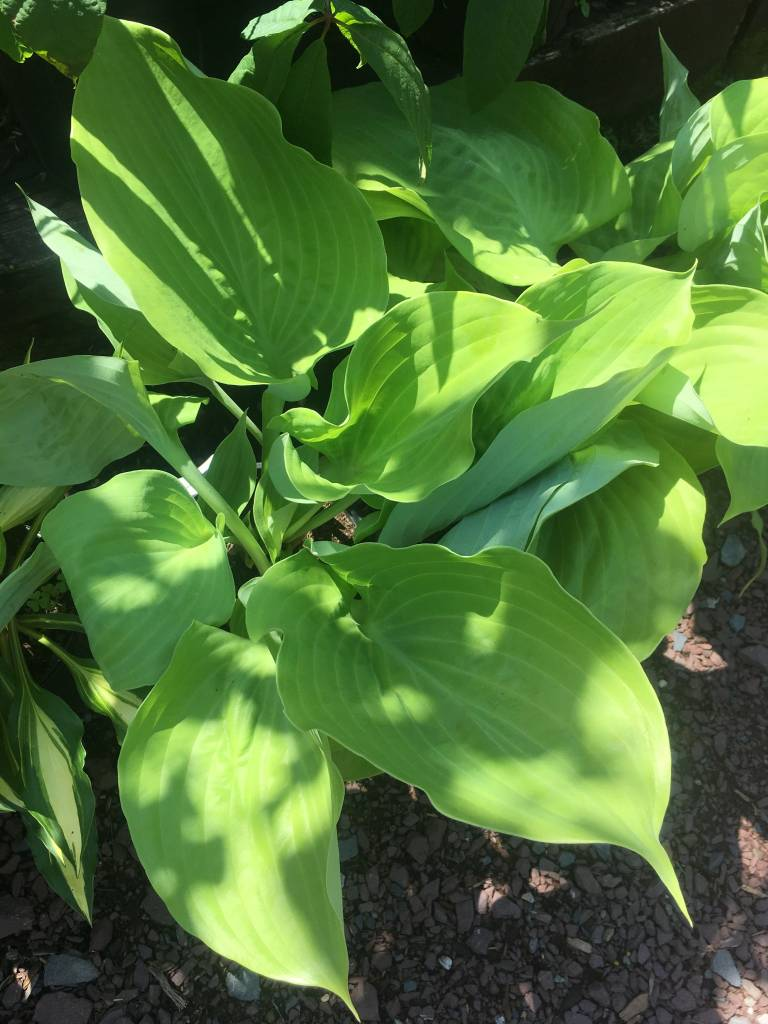 Hosta Sum & Substance Plantain Lily, Sum & Substance, #1
