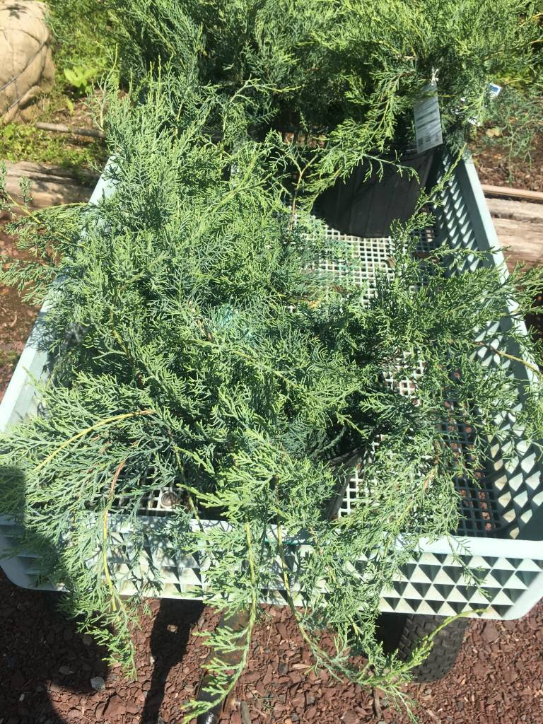Juniperus virginiana 'Grey Owl' Redcedar, #3