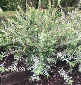 Salix int. Hakuro Nishiki Willow - Dappled, #5