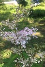 Filipendula purpurea Elegans, Meadowsweet #3