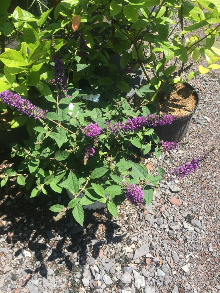 Buddleia Blue Chip Jr Butterfly Bush, Lo & Behold Blue Chip Jr, #2
