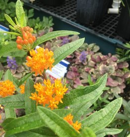 Asclepias tube. Butterfly Weed, Quart