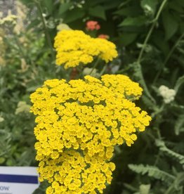Achillea x Moonshine Yarrow, Moonshine, #1