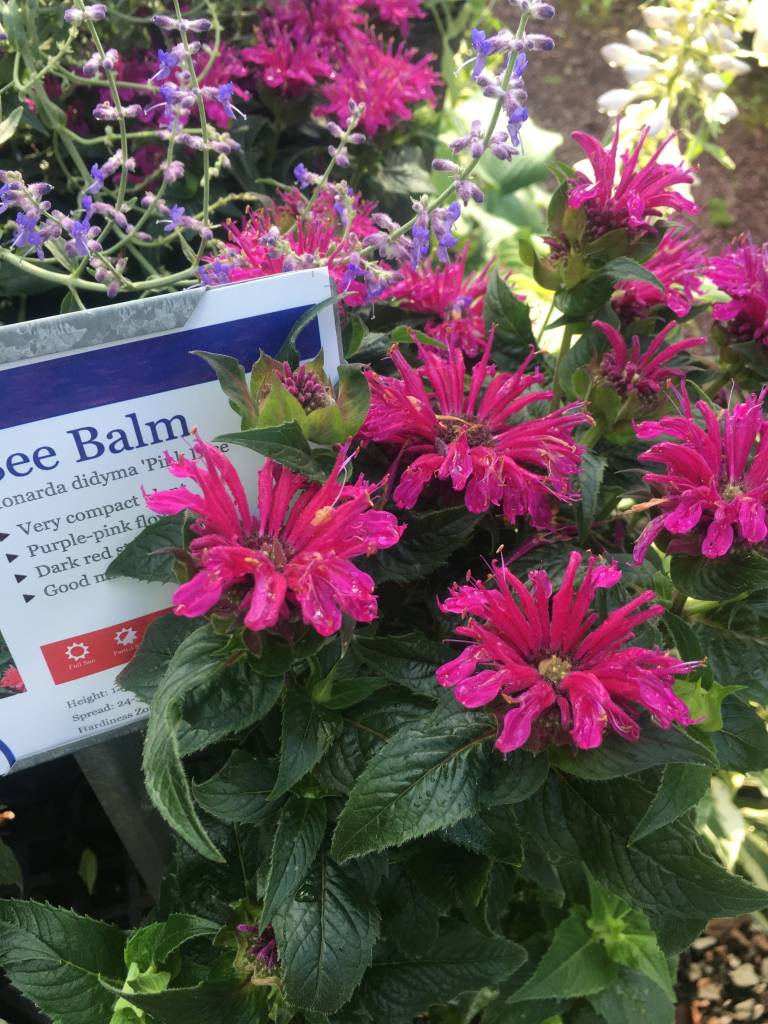 Monarda did. Pink Lace Bee Balm, Pink Lace, #1
