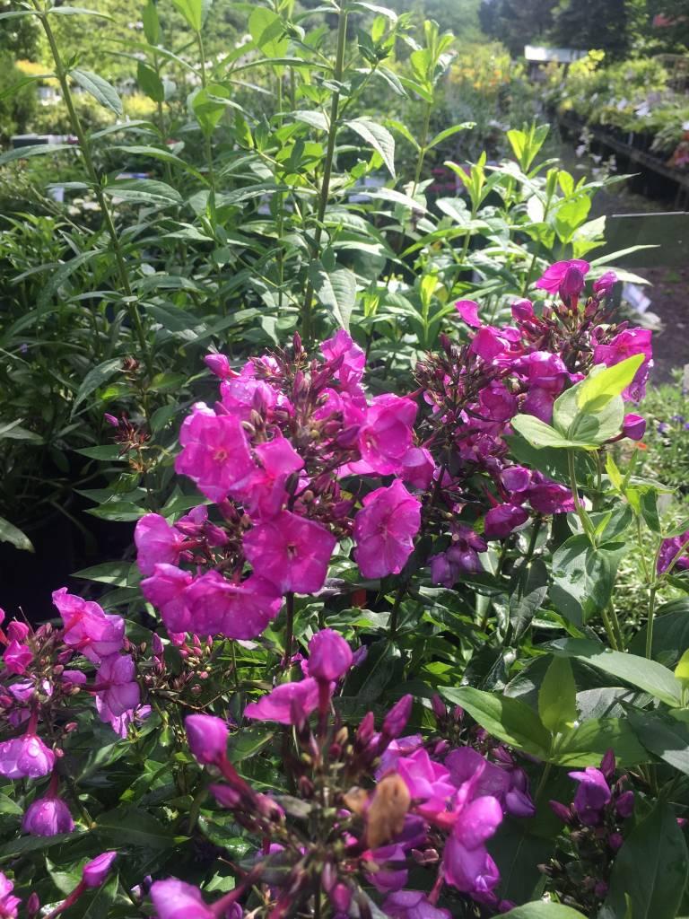 Phlox pan.  Sweet Summer Fantasy Phlox - Garden,  #1