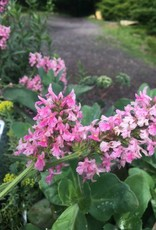 Stachys Pink Cotton Candy Lamb's Ear, Pink Cotton Candy, #1