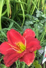 HEMEROCALLIS RED HOT RETURNS #1